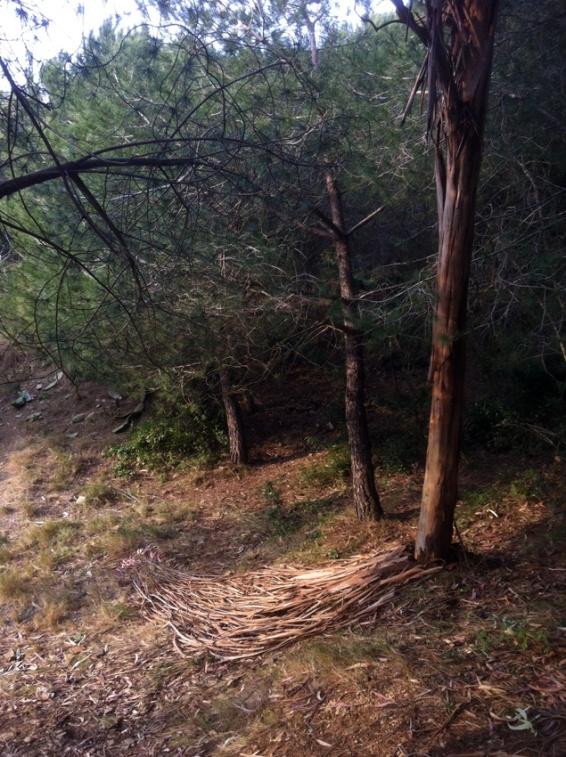 eucalyptus 8