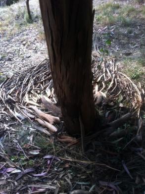 eucalyptus 9