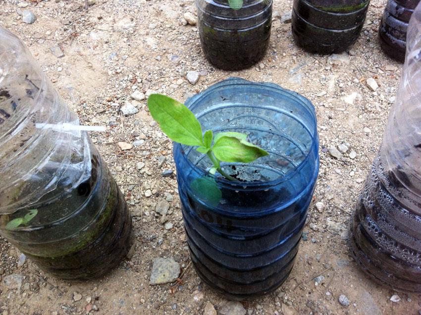 abro la partida superior del hibernadero asi la planta se desarolla - J'ouvre la partie supérieure de la serre ainsi la plante se développe