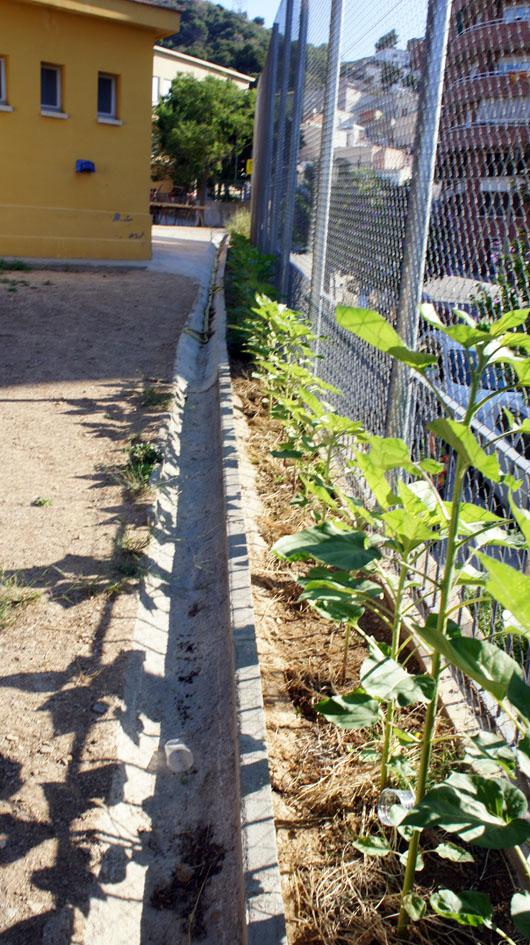 ...y poco a poco una linea de mas 50 plantas aparece... - Et peu à peu une ligne de plus de 50 plantes apparaît...