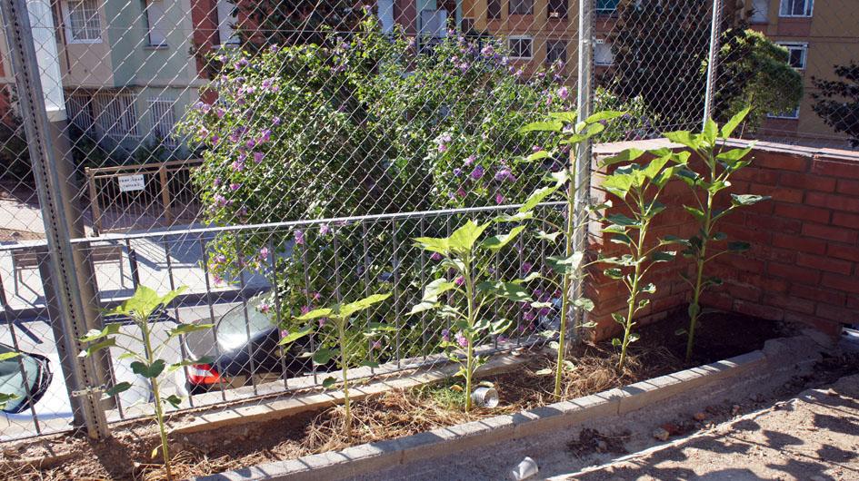 inicialmente las primeras plantas son mas grande et crecen rapidamente... - Initialement les premières plantes son plus grandes et poussent rapidement.