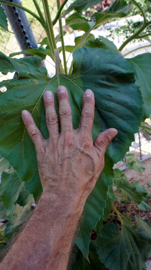 autant les tiges (de petits troncs!), les feuilles que les fleurs sont de dimensions impressionnantes - como las barras (pequeños troncos!), deja las horas y las flores son increible grande