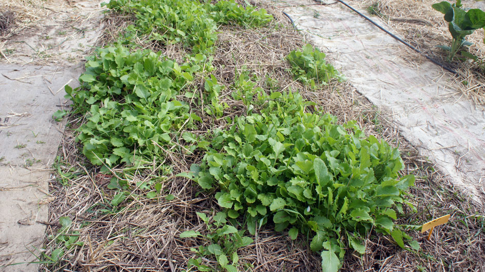 Paja, riego gota a gota, plantitas - paille, arrosage goutte à goutte, petites plantes.